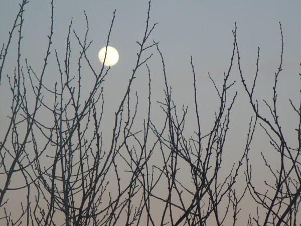 księżyc za drzewami