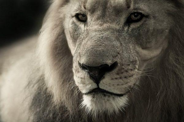 lew, dziki kot