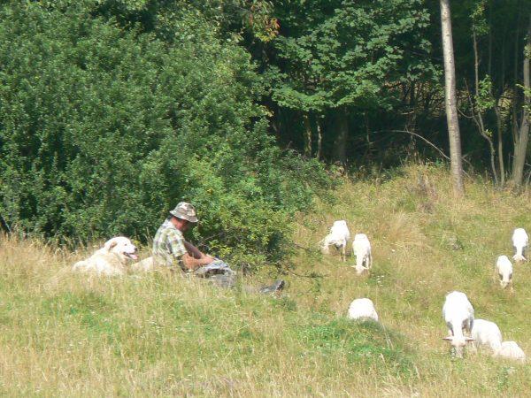pasterz i owce, i owczarek