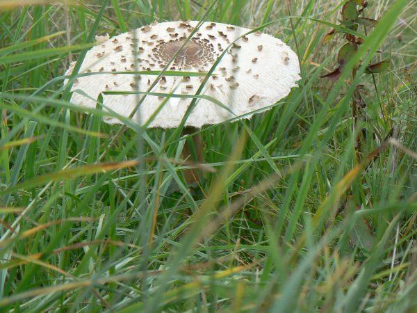 grzyb wśród traw