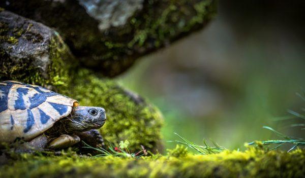Żółw Wemek